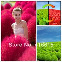 1000 Pieces Adaptability Super Plants Seeds,Bassia Scoparia Red Lantern Seeds , Gold Kochia Scoparia Grass ,Plus Mysterious Gift