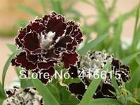 100 seeds/pack,Black and White Minstrels Dianthus,Rare Flower Seeds,Summer Specials Flower Seeds * Gardening Seeds,+ Gift