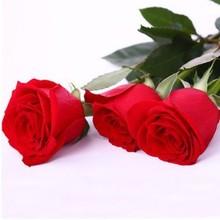red rose seed price