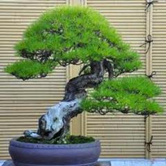$1.97/40 seeds pine seeds 2014 Hot sale very easy grow beautiful Yaccatree Tree Seed bansai Podocarpus tree seeds FREE SHIPPING(China (Mainland))