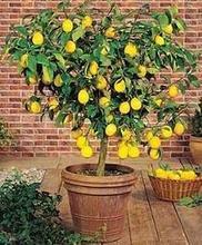 Mix minimun $5 Hot selling Lemon Tree Seeds, 20 pcs Fruit Tree Bonsai Seeds(China (Mainland))