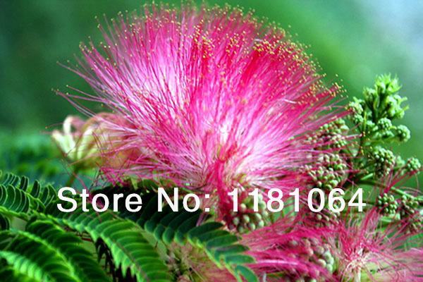online kaufen gro handel mimosa bonsai aus china mimosa. Black Bedroom Furniture Sets. Home Design Ideas