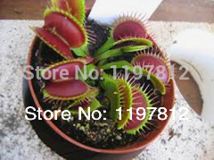 On sale $0.97/300PCS Dionaea Muscipula Giant Clip Venus Flytrap Seeds Bonsai plants Flower seeds Free shipping(China (Mainland))