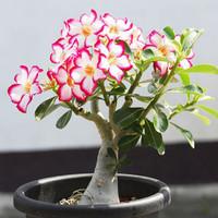 Bonsai fleshier plant air purification indoor 2