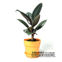 Bonsai indoor flowers black diamond small rubber seedlings new home purification formaldehyde