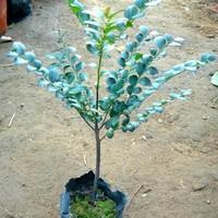 Lobular red sandalwood seedlings bonsai seedlings exteravagant seedlings indoor bonsai flower plant
