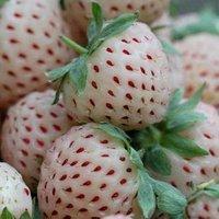 SD0554 White Strawberry Fresh seeds, Germination 95%+, free shipping, 100 seeds