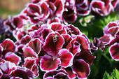 Geranium Seeds, Beautiful, Visual enjoyment, 40 Seeds/lot, New Seeds For Season, free shipping,