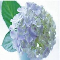 Free shipping blue Flower seeds Hydrangea seeds Viburnum macrocephalum seed