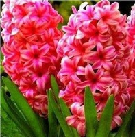 5 BULBS RED HYACINTH BLUBS * RED HYACINTHUS ORIENTALIS PLUS MYSTERIOUS GIFT FREE SHIPPING * VERY VERY EASY TO GROW