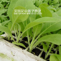 2014 seconds kill direct selling simple package regular foliage plant seed annual plant free shipping southerm tobacco seeds