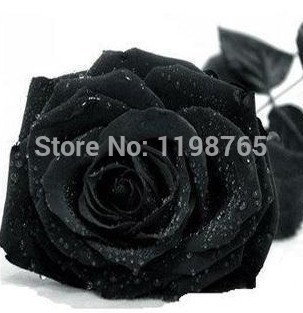 Promotion! 200pcs 100% Original Black Rose Seeds China Rare seeds of Rose Flowers Free Shipping(China (Mainland))