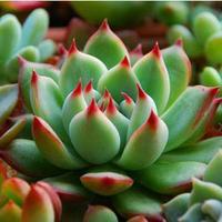 100pcs New arrival Indoor novel JiWaLian potted plants Monilaria succulents succulent plant fleshy meaty plant seed  Seeds