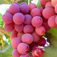 Free shipping giant pink grapes rare 80 seeds fruit seeds