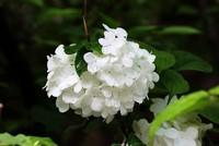 Free shipping white seeds Flower seeds Hydrangea seeds Viburnum macrocephalum seed