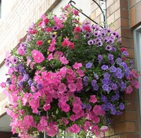 Semi-Trailing Petunia Seeds Hanging Petunia Seed Blended-color Flower Pots Planters Home Garden Supplies 50pcs/Bag