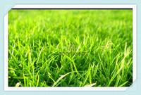 Free shipping, Green Source Turfgrass Grass Seeds , Golf, Soccer Fields, Villa, Special grade Evergreen Lawn Seeds 2000 Seeds