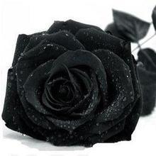 Черная роза 91
