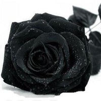 Rose seeds black rose seeds rare Amazingly Beautiful Black Rose Flower - 100 pcs seeds