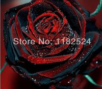 200 SEEDS - Rare TRUE BLOOD BLACK ROSE Seeds - Bonsai Flower Plant Seeds * Free Shipping