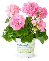 $2 off per $7 Pink Geranium Flower Seeds 30pcs Flower Feed Hydrangea Evergreen Woody Flowering Long Hydrangea Bonsai Seeds