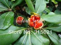 100 pcs Landscaping Plants  Pittosporum Tobira Tree Seeds  Hill Alum Flower Seeds Free Shipping