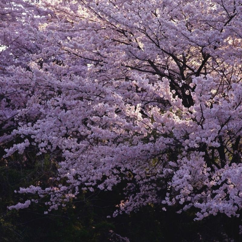 china landscape cherry trees - photo #4