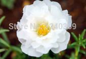 White portulaca seeds, portulaca flower seeds, 1400 seeds, free shipping(China (Mainland))