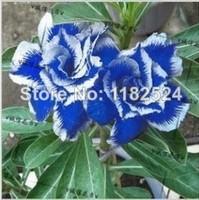 50 SEEDS - Fresh Rare Blue Adenium Obesum Seeds - Bonsai Desert Rose Flower Plant Seeds * Free Shipping