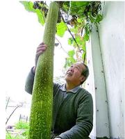 Free shipping 50pcs/lot Super big loofah Seeds DIY home garden Super big seeds vegetables