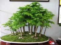 Free shipping 50pcs/lot Asparagus Setaceus Seeds home small bamboo seeds