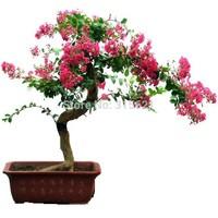 New Potted Landscape Plant Rhodomyrtus Tomentosa Bonsai Myrtle Myrtaceae Seeds 20 pcs DIY Home Garden Free Shipping