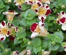 semente 1000 pces muito escuro vermelho branco macaco cara orquídea semente de flor preço vai em breve com 30 pcs japonesa pinheiro semente como presente(China (Mainland))