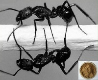 Black Ant/ Polyrhachis Vicina 20:1 Extract Powder, bulk, CHINESE SUPERFOOD