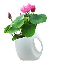 Free shipping 20pcs/lot mini lotus seeds indoor flower mini lotus seeds bowl lotus seeds water lotus seeds
