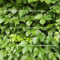 050606 seeds flower pots planters garden sementes fruit bonsai tree home vegetables rainbow Boston ivy 320pieces/lot
