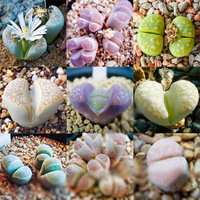 Free Shipping Lithops marmorata SB 153 exotic living stone rock succulent cacti seed 20 SEEDS