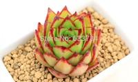 Free Shipping ECHEVERIA agavoides Ebony Salitrera-Bonnieri plant exotic succulents seed -10 SEEDS