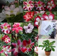 Flower pots planters Adenium obesum seeds rainbow desert rose seeds Bonsai plants Seeds for home & garden 20 seeds/bag