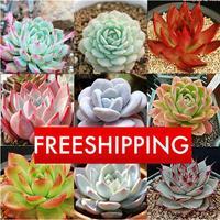 DIY Fresh Succulent Plant Seeds 20pcs/lot Rock Garden Gorgeous Round Leaf - RARE Mixed ECHEVERIA Purpusorum Seeds Free Shipping