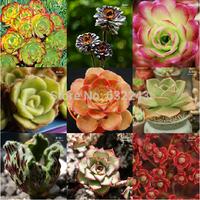 New Arrival Fresh Rare Succulent Plant Seeds 20pcs/lot Home Rock Garden AEONIUM Mix Seeds Free Shipping