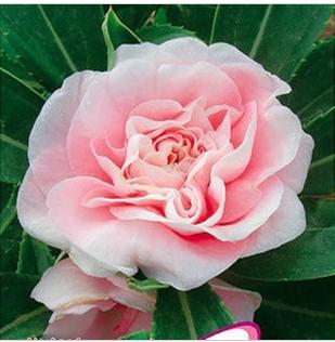 Hot Selling Pink Balsamine Flower Seeds 20pcs/lot Flower Bonsai Seeds DIY Free Shipping(China (Mainland))