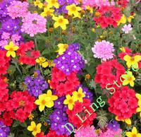 flower verbena hybrida seeds, Original package 50pcs high survival rate seeds , like sunshine
