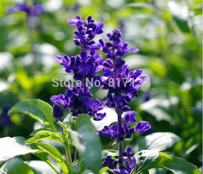 Blue sage salvia viridis clary painted horminum sage herb flower