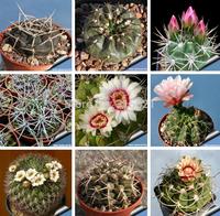 Cactus* Gymnocalycium mix Seeds 20pcs Bonsai Table Succulent Plants Free Shipping