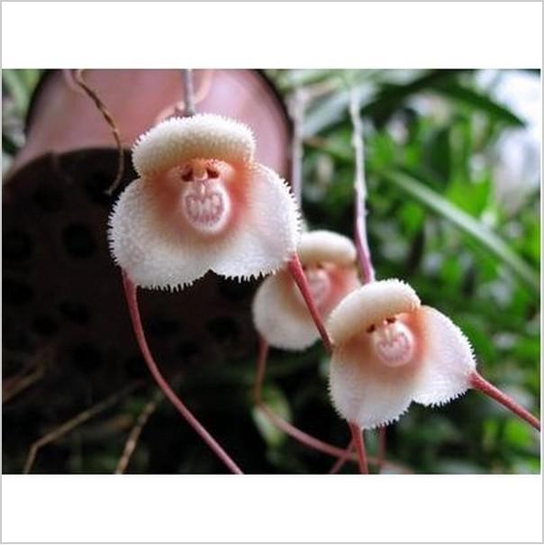 Pots à fleurs planteurs belle singe. visage. orchidées graines, bonsaï. multiples variétés de semences de plantes pour la maison& 100 graines de jardin