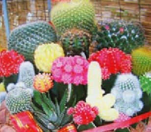 Selling Hot 20pcs Cactus Seed 10 Mixed Colors Flower Seeds Bonsai DIY Home Garden Free Shipping(China (Mainland))