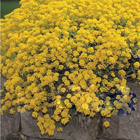 The L. maritima(Alyssum maritimum) Seeds 20pcs Honey fragrance Dwarf resistant to drought Free Shipping