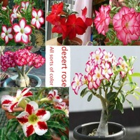 Flower pots planters Adenium obesum seeds rainbow desert rose seeds Bonsai plants Seeds for home & garden 200 seeds/bag