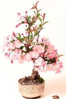 20pcs pink cherry blossom sakura tree seeds bonsai flower easy to plant DIY home garden oriental